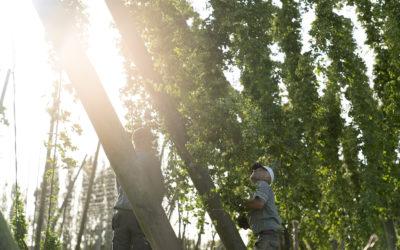 Réserve Royale Hops harvest time